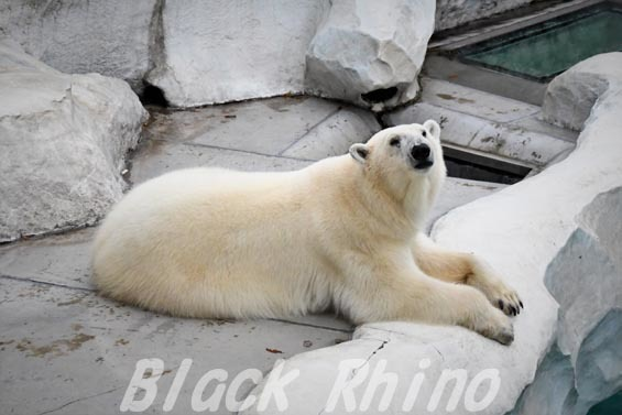 ホッキョクグマ デア 上野動物園