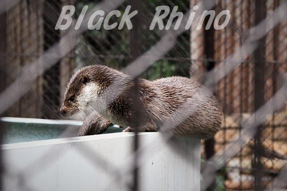 ユーラシアカワウソ1 上野動物園