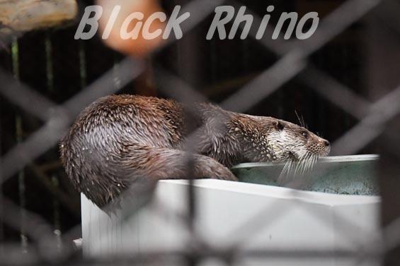 ユーラシアカワウソ3 上野動物園