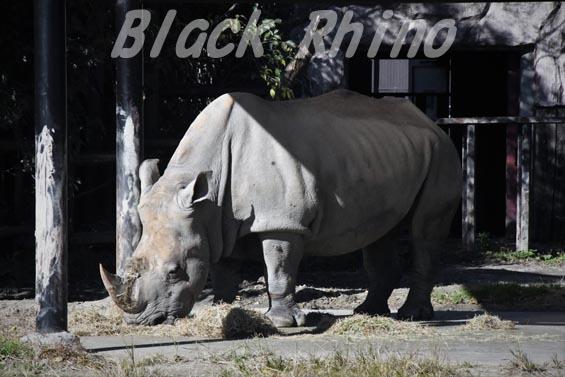 ミナミシロサイ2 東武動物公園