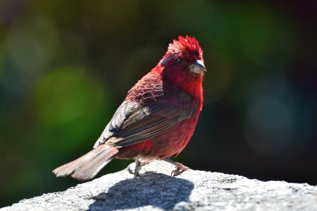 秋山の野鳥〜タカサゴマシコ(4)