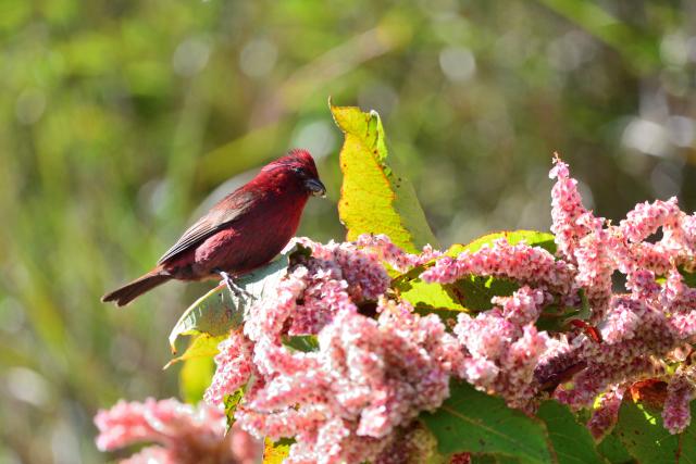 秋山の野鳥〜タカサゴマシコ(3)