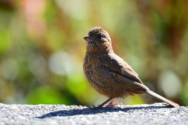 秋山の野鳥〜タカサゴマシコ(2)