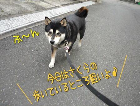 walk2sakura10sai2.jpg