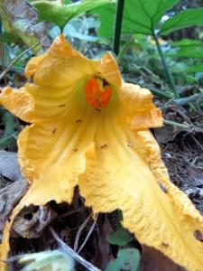 171011-13=バターナッツの雌花 a奥の奥畑