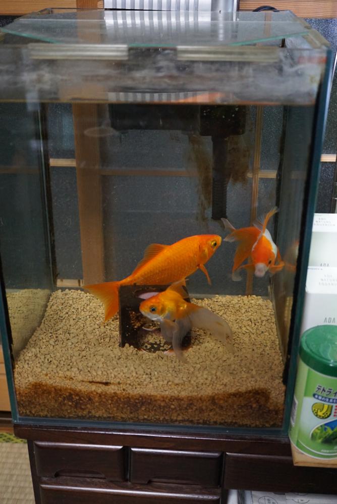 金魚20171114