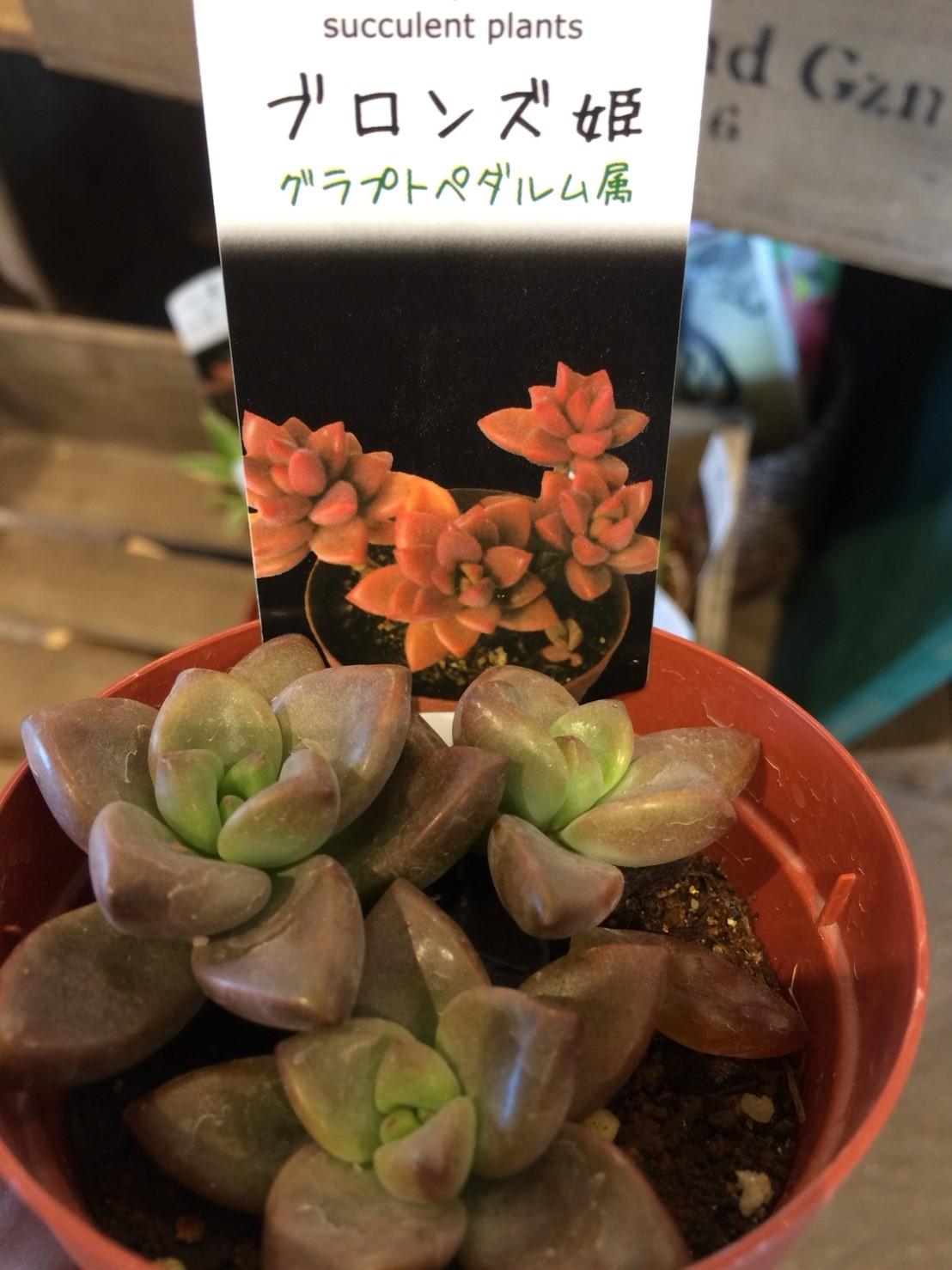 プチコノカ塚口多肉植物_171027_0007