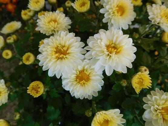 花開く2911