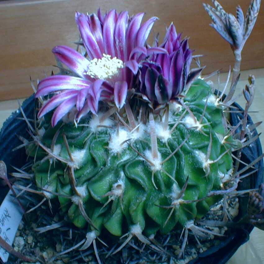 4縮玉黒紫花35-37