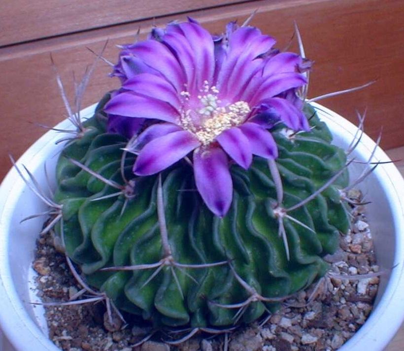 縮玉紫花212-33