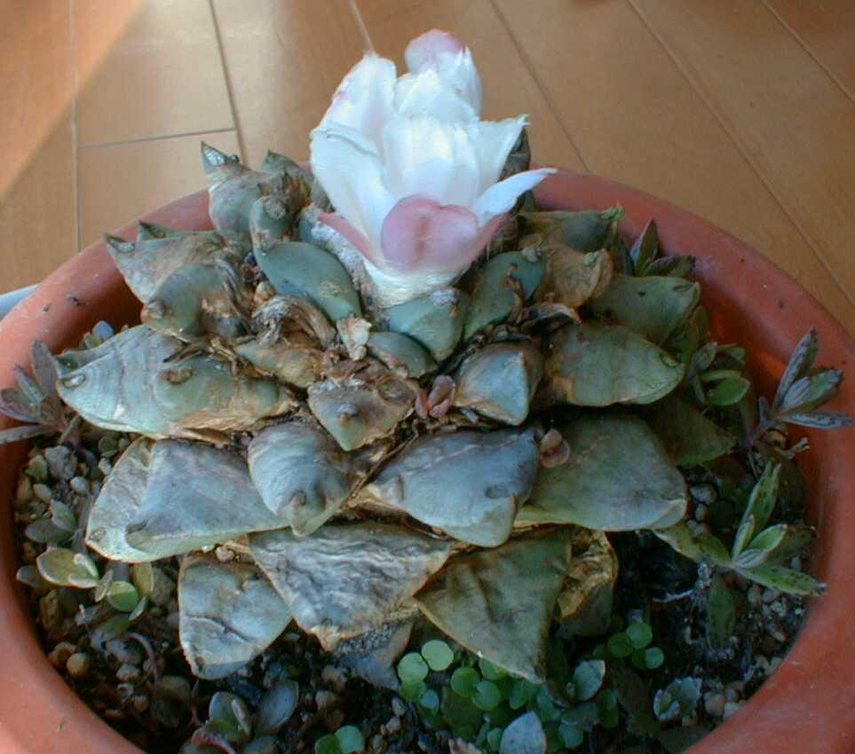 花牡丹1118-85