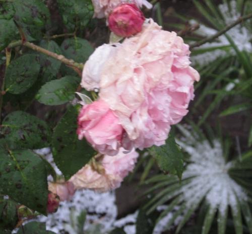 薔薇雪景色
