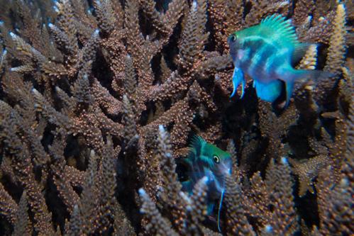 サンゴの産卵 2017.1