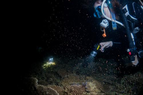 サンゴの産卵 2017.4