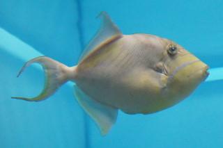 クイーントリガーフィッシュ(海響)