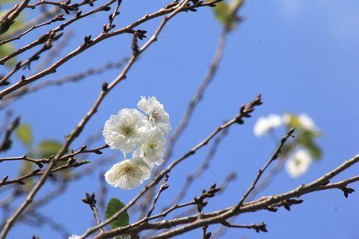 IMG_0140子福桜