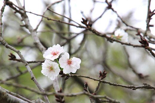 IMG_0041子福桜