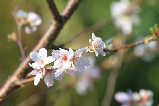 IMG_0109十月桜