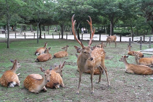 20170705奈良の鹿
