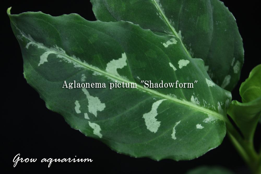 アグラオネマ ピクタム シャドウフォーム[Aglaonema pictum Shadowform]