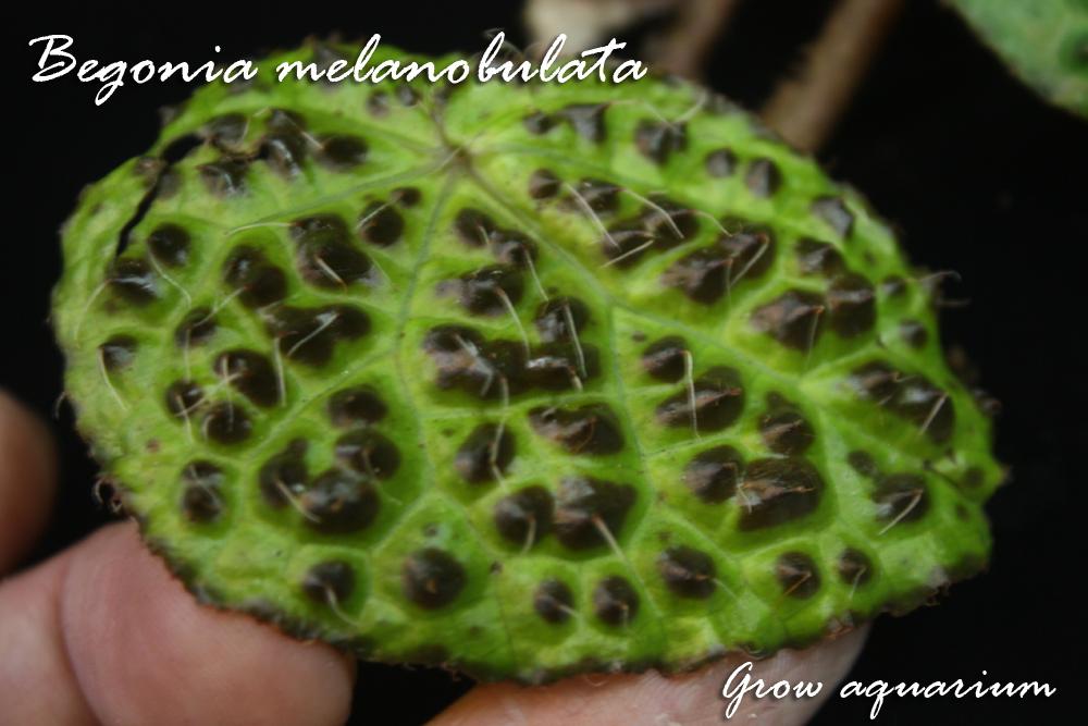 ベゴニア メラノブラータ