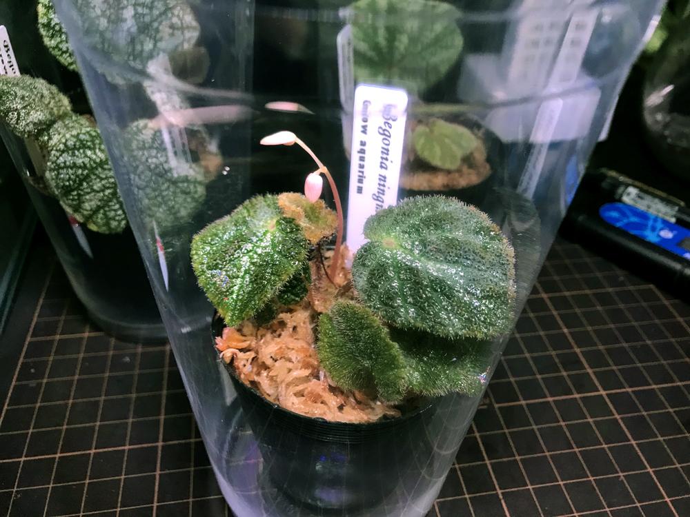 ベゴニア ニンミンエンシス Begonia ningmingensis