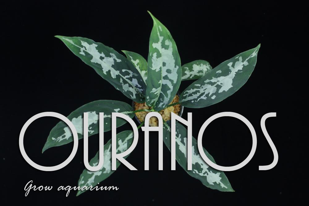 アグラオネマ ピクタム ウラノス[Aglaonema pictum