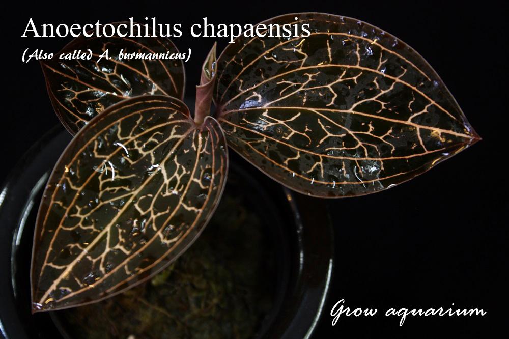 アネクトキルス カパエンシス