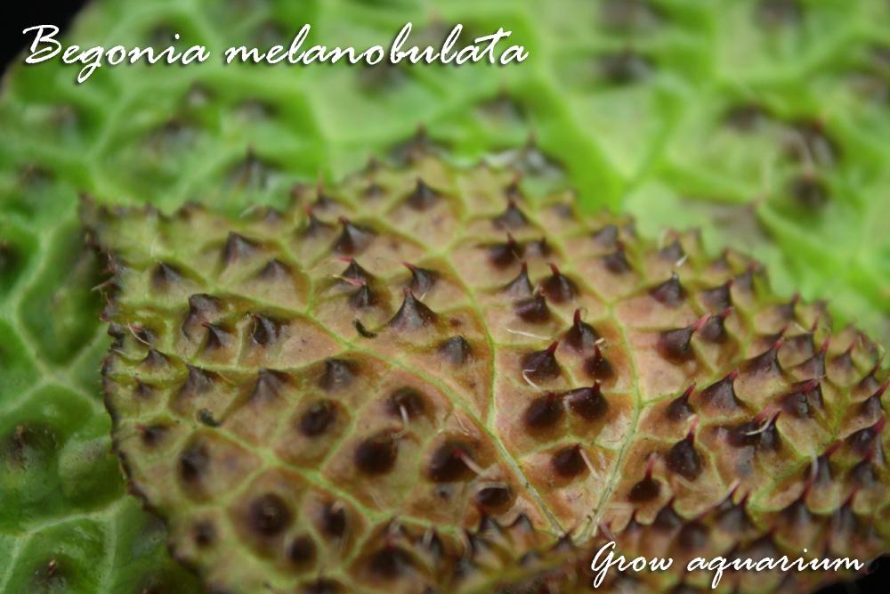 ベゴニア メラノブラータ Begonia melanobulata