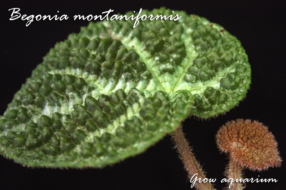 ベゴニア モンタニフォルミス Begonia montaniformis
