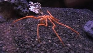 ヤマトトックリウミグモ