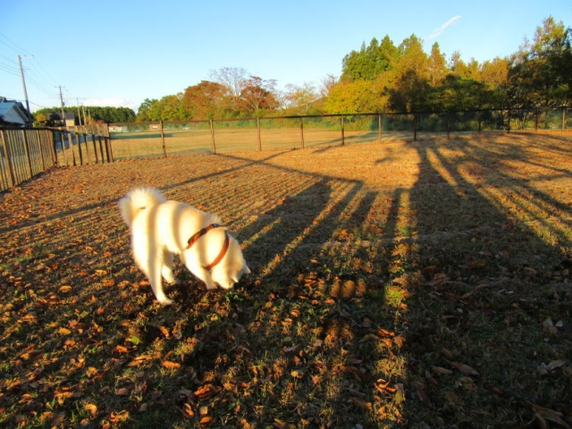 落とし穴を掘る秋田犬