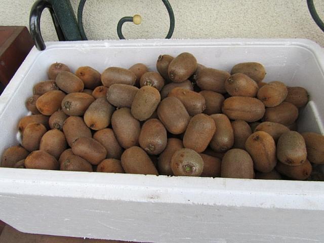 キウイ(香緑)収穫
