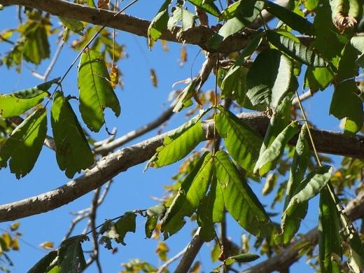 クルミの木