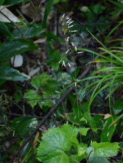 カニコウモリ1
