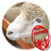 韓国 大関嶺羊牧場