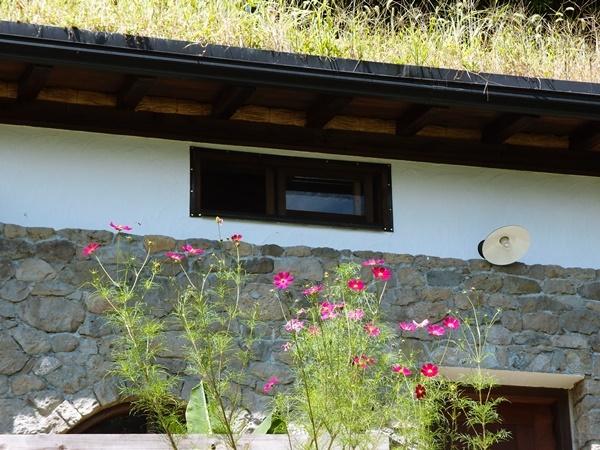 石積みの離れの屋根のエノコロと前庭のコスモス