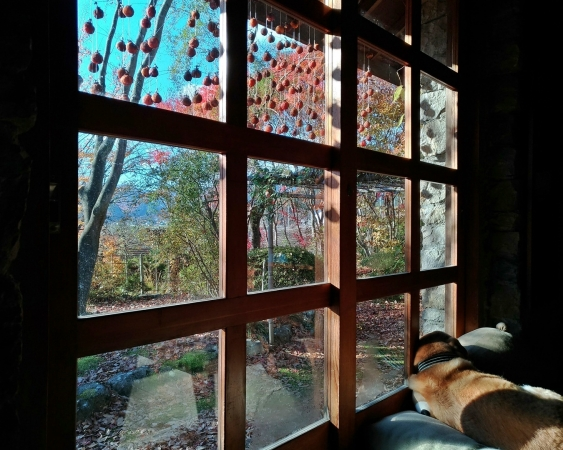窓越しの柿すだれが長くていい感じと寝る愛犬らく