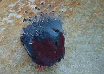 かんむり鳩-crop