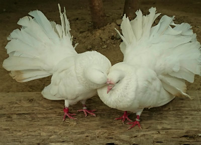 掛川花鳥園白い鳩-crop