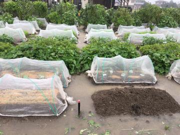 大雨に浸かる畑2