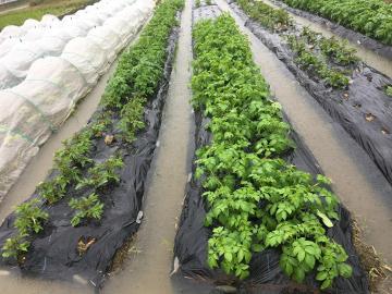 大雨に浸かる畑3