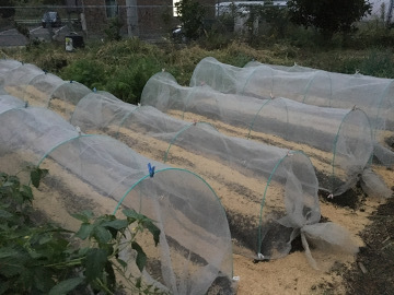 キアゲハ幼虫いっぱい10