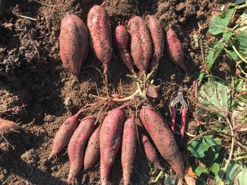 さつま芋と落花生収穫6