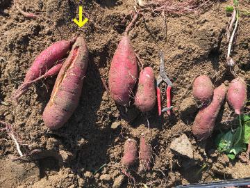 さつま芋と落花生収穫7