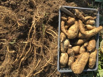 さつま芋と落花生収穫8