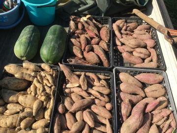 さつま芋と落花生収穫9