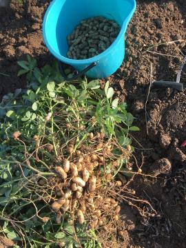 さつま芋と落花生収穫11