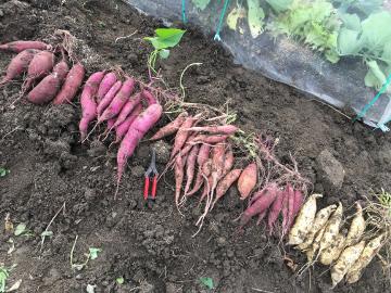 農園のさつま芋掘り6