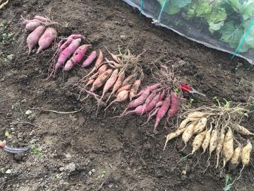 農園のさつま芋掘り8